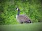 Take a Gander at me. Taken 5/20/15 near a pond by Stephanie Beck.