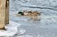 "A ""hen"" mallard follows a drake for ""the steal."". Taken February 15, 2021 Ice Harbor, Dubuque, IA by Veronica McAvoy."