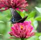 Black Swallowtail Butterfly and a beetle on a zinnia. Taken August 17, 2017 Backyard, Dubuque by Deanna Tomkins.