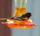Baltimore Oriole finds nectar feeder. Taken May 14, 2016 Backyard, Dubuque by Deanna Tomkins.