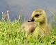 A gosling rests by a pond's edge.. Taken May 21, 2021 Althaus wetland, Asbury, IA by Veronica McAvoy.