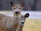 Deer and yearling stick close together. Taken February 23, 2017 Jones County by Deanna Tomkins.