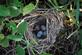 Eggs in a nest in the midst of the raspberries. Taken recently at the farm by Dawn Pregler.
