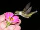 Hummingbird eating from my hand. Taken 2013 Taken at my home by David D. Driscoll.