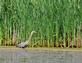 A blue heron stretches its neck in search of fish at a pond.. Taken June 14, 2020 Dubuque, Iowa by Veronica McAvoy.