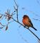 A finch perches against a blue sky. Taken March 11 in E. Dubuque by Lorlee Servin.
