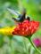 Happy hummer enjoys the garden. Taken in September at the butterfly garden in Bellevue by Lorlee Servin.