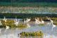 Great egrets in Mississippi Backwaters. Taken September 17, 2016 Wisconsin by Deanna Tomkins.