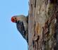 Red-bellied woodpecker looks for a spot at a birdfeeder. Taken February 25, 2017 Backyard by Deanna Tomkins.