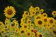 Sunflowers galore. Taken in August Bellevue butterfly garden by Lorlee Servin.