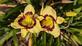 Calico Jack Daylillies. Taken 07/09/20 In my garden by Stephanie Beck.