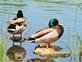 Two mallards stand on rocks at a pond.. Taken May 21, 2021 Althaus wetland, Asbury, IA by Veronica McAvoy.