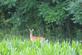 Deer stands still near a cornfield.. Taken July 15, 2016 Near Mount Ida, WI by Veronica McAvoy.