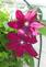 vibrant clematis blooms. Taken 6-6-19 backyard by Patti Menster.