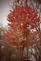 Autumn blaze maple trees. Taken 10-20-20 Dubuque area        by Peggy Driscoll      .