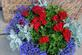 Gearing up for Independence Day.  Red, white and blue flowers in bloom. Taken this weekend in my yard by Dawn Pregler.
