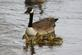 New spring goslings!. Taken April 25, 2017 Mississippi river. by Veronica McAvoy.