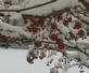 Frosted berries. Taken 1/21/15 in a snowy tree by Stephanie Beck.