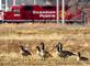 Geese and train engine share common ground. Taken January 8, 2017 E.16th Street, Dubuque by Deanna Tomkins.