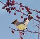 Cedar wax wing perches on a branch.. Taken March 09, 2019 Iowa street, Dubuque, Iowa by Veronica McAvoy.