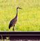 Sandhill Crane (not a common sight in the tri-state area!)  hanging out near railroad tracks. Taken August 11, 2018 Taken on 52 South Road, south of Bellevue by Deanna Tomkins.