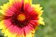 Indian Blanket wildflower.. Taken June 22, 2016 Bellvue park. by Veronica McAvoy.