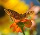 A Meadow Fritillary poses on a zinnia. Taken in September at the butterfly garden in Bellevue by Lorlee Servin.