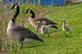 Canada Geese family on riverbank. Taken May 7, 2016 Dubuque by Deanna Tomkins.