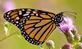 A monarch rests on ironweed flowers.. Taken July 4, 2021 John Deere Marsh, Dubuque, IA by Veronica McAvoy.