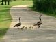 family of geese. Taken 5-25-2016 dubuque county by jodi nemmers.