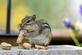 Just one more&#59; Chipmunk stuffs peanuts into its cheek. Taken October 11, 2020 Backyard, Dubuque by Deanna Tomkins.