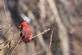 A red cardinal sits on a small branch to get a better view.. Taken January 6, 2018 Mines of Spain, Dubuque, IA by Veronica McAvoy.
