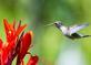 Hummingbird makes a beeline to a Canna flower. Taken August 17, 2017 Backyard, Dubuque by Deanna Tomkins.