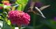 Happy hummer. Taken in September at the butterfly garden in Bellevue by Lorlee Servin.