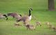 Gosling Daycare. Taken 5/20/15 Near a pond by Stephanie Beck.