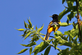 Baltimore oriole . Taken May 20, 2016 at the Mines of Spain by Gary Hillard.