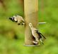 Two goldfinch's vie for spots on a bird feeder.. Taken October 14, 2019 Swiss Valley nature center, Dubuque co., IA by Veronica McAvoy.