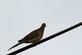 A morning dove rests on a wire at a park.. Taken June 14, 2018 A. Y. McDonald park, Dubuque, IA by Veronica McAvoy.