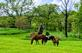 Pretty horses in a pasture. Taken 05/28/20 Just outside of Dubuque by Stephanie Beck.