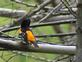 A male Baltimore Oriole.taken May 4,2015 at the Mines of Spain by Gary Hillard.