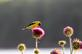 A goldfinch rests on top of a bull thistle at a park.. Taken June 14, 2018 A. Y. McDonald park, Dubuque, IA by Veronica McAvoy.