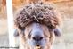 An alpaca posing for a picture. Taken October 2021 Dubuque County by Tricia Firzlaff.
