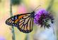 Monarch Butterfly enjoys nectar from a thistle flower. Taken July 3, 2018 Dubuque by Deanna Tomkins.