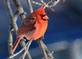 A  cardinal brightens a winter day. Taken in December in my yard in Dubuque by Lorlee Servin.