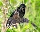 Red-winged Blackbird feeds a fledgling a meal. Taken June 16, 2018 Bergfeld Pond Recreation Area by Deanna Tomkins.