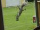 SQUIRREL GYMNASTICS FEEDING. Taken 06 04 2013 HOME BACKYARDD by BARBARA E BECKER.