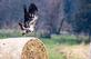 Baling&#59; an immature eagle takes off from a bale of hay. Taken October 27, 2018 Near the Galena Territory, Illinois  by Deanna Tomkins.