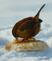 Winter Wren enjoying a bread meal. . Taken 2-20-21    Dubuque area             by Peggy Driscoll           .