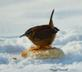 Winter Wren enjoying a bread meal.. Taken 2-20-21 Dubuque area             by Peggy Driscoll           .