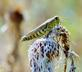 A grasshopper tries to camouflage itself on a dried flower.. Taken September 5, 2020 Bergfeld  pond, Dubuque co., IA by Veronica McAvoy.
